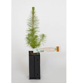 Pin maritime (Pinus...
