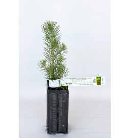 Pin d'Alep (Pinus...