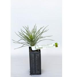 Pin noir d'Autriche (Pinus...