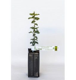 Chêne kermès (Quercus...