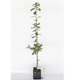 Chêne pubescens (Quercus...