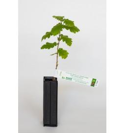 Chêne chevelu (Quercus...