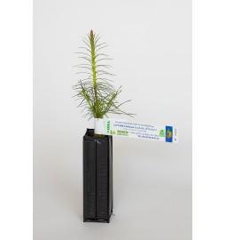 Pin sylvestre (Pinus...