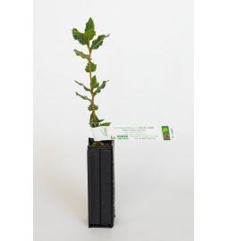 Chêne vert (Quercus ilex)...