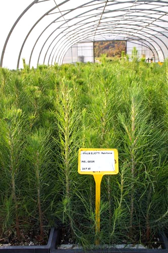 Crop Contract for the REINFORCE project Chinese Fir Cunninghamia lanceolata