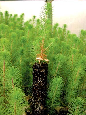 Fruiting in nurseries dHEBELOMA crustuliniforme on Aleppo pine Pinus halepensis in Robin bucket ANTI-CHIGNON®R400