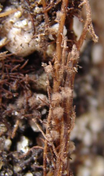 Mycorrhizal brown more or less dark forming on the faces of the bucket pomel of mycelium flexuous unbranched.