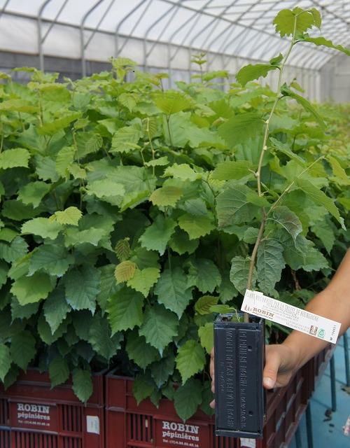 Piante di Corylus avellana micorrize con Tuber uncinatum alto 1 anno in GODET ROBIN ANTICHIGNON R600 cm3 v2