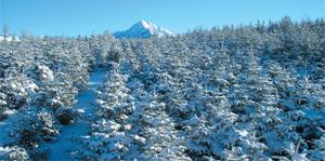 Culture de sapin de Noel a Saint Laurent du Cros 1250 metres daltitude en janvier