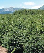 Épicéa Picea abies