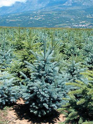 Épicéa bleu du Colorado