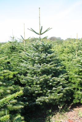 Exemple d'un sapin de Noël 1er choix
