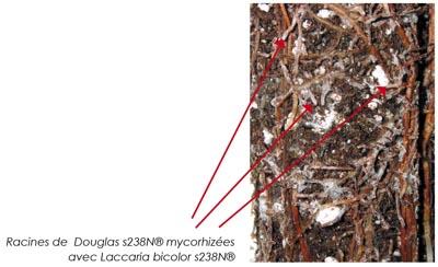 Mycorrhizal s238N® Douglas-fir root con Laccaria bicolor s238N®