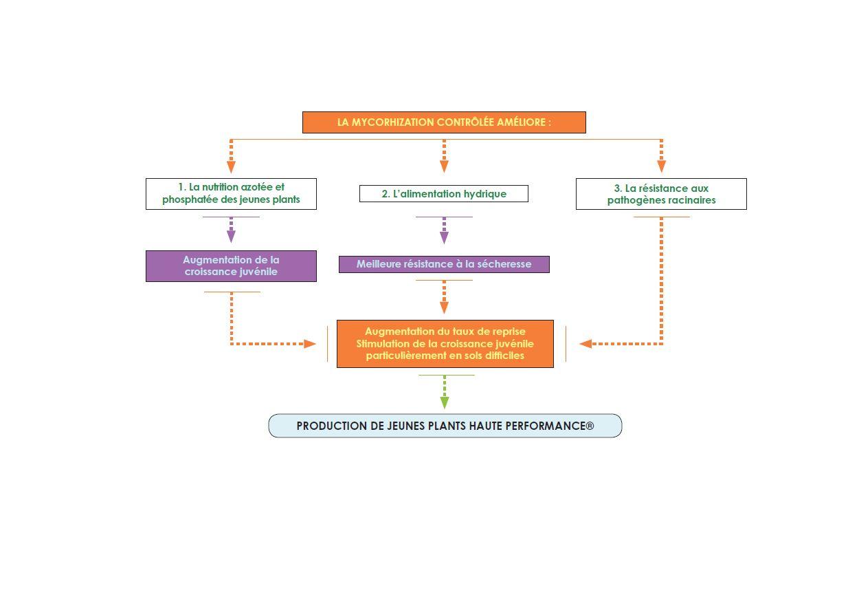 schema mycorhization2.JPG