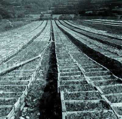 1955 : premiers plants en godets