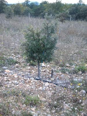 2005/2006 : Les arbres truffiers CHAMPION®